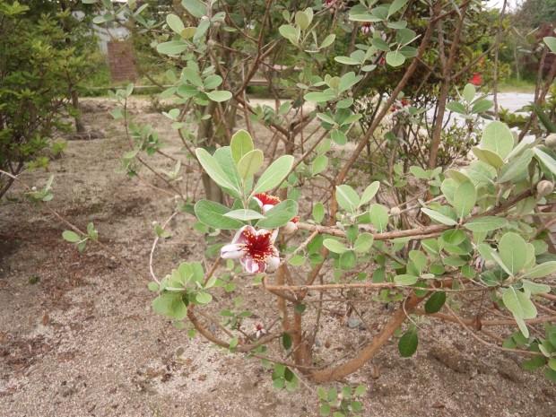 フェイジョア 常緑樹 庭木 果樹