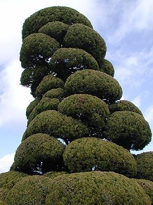 カイヅカイブキ  画像